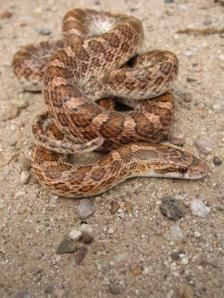 arizona elegans