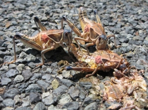 cannibal grasshoppers
