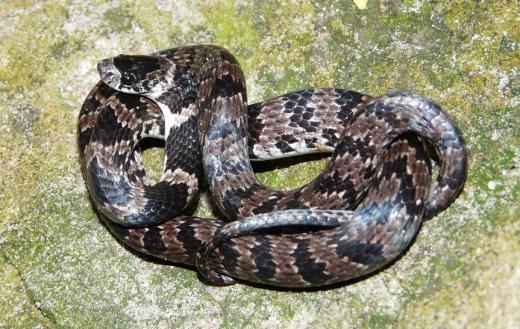 sibonymorphus2